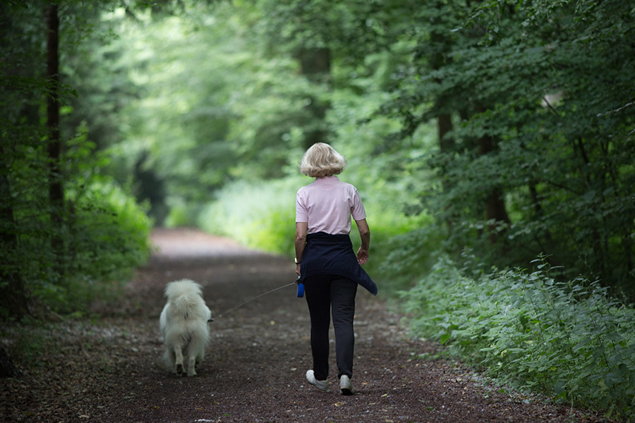 Woman walking samoyed dog on leash in forest in summertime. Relaxing and healthy activity together with pet
